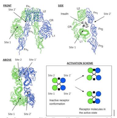 Scheme depicting possible Insulin Receptor binding sites