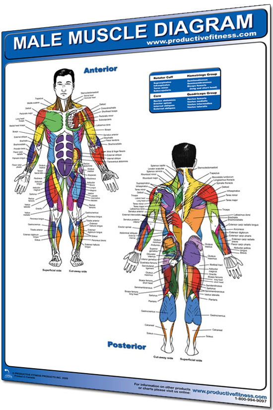 "productive fitness 24"" x 36"" laminated fitness poster / wall chart, Cephalic Vein"