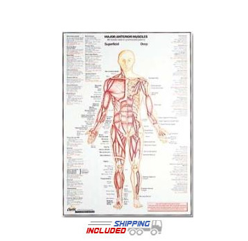 Anterior Muscle Wall Chart