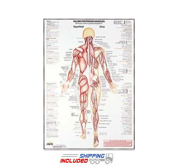 Posterior Muscle Wall Chart